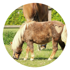 Ein Pony im Fellwechsel