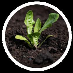 Eine kräftige Gemüsepflanze