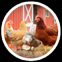Hühner auf einer Sitzstange