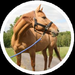 Ein Pferd mit Halfter und Führstrick als Beispiel für Pferdezubehör
