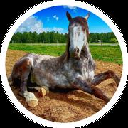 Ein liegendes Pferd mit PSSM