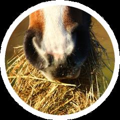 Ein Pferd beim Fressen von Rauhfutter