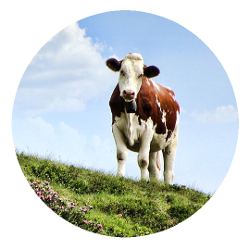 Ein Rind umgeben von Gras