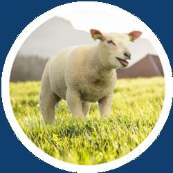 Ein Schaf auf einer Wiese