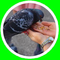Eine Taube pickt Taubenfutter aus Samen aus einer Hand